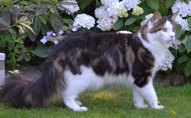 Maine Coon, black tabby blotched & white (n 09 22). Madepi-coon's Gannicus of Abesh