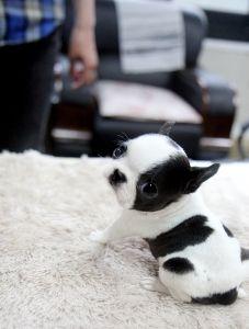 mini boston terrier.
