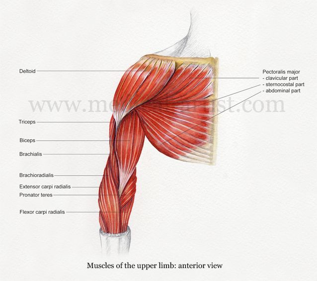 image  of upper muscles | Medical Illustrations of Muscle Anatomy of the Shoulder & Arm ...