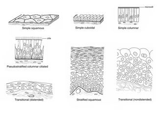 Tissue types, Different types of and Different types on