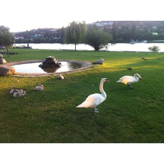 Little swans, Zlute Lazne, Prague, enjoying the summer:)