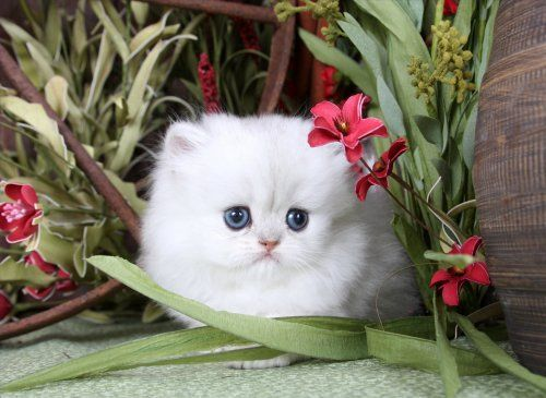 Silver Persian Kittens Shaded Silver Persian Kittens Silver Persian Cats Silver Cat Breeders Teacup Persia Teacup Persian Kittens Persian Kittens Cute Cats