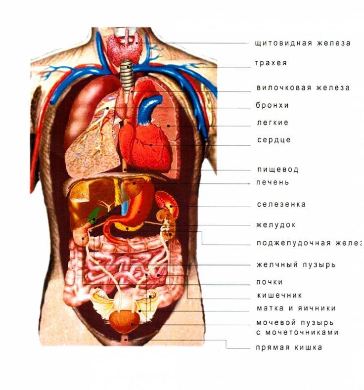Анатомия человека органов в картинках