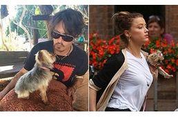 """""""Elpusztítjuk őket"""" - Veszélyben Johnny Depp kutyái Johnny Depp, Amber Heard  és a két yorkie  #kutya #dog #yorkshireterrier #terrier #yorkshire #yorkie #australia #johnnydepp #amberheard"""