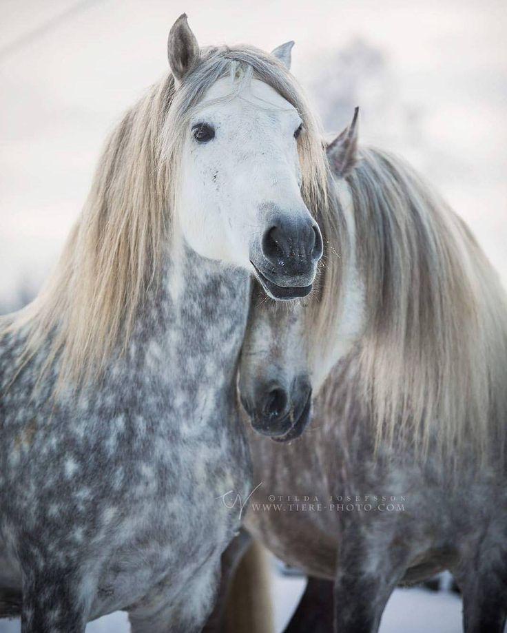 When stallions are the best of friends  * Photo by @tiere_photography * #srnordica #mio #molina #Puntiagudo #pippin #pre #pferd #purarazaespañola #bestofequines #horsephotogs #horseaddict #andalusian #pferdestars #europaspferde #stallion #featuringequines #featuremesophie #caballo #horsesofinstagram #horseplanet #stallions #horses