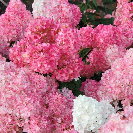 Vanilla Strawberry Hydrangea. One of the hottest new shrubs to come out in the last few years, Vanilla Strawberry is a big, bold variety that offers white flowers that blush to raspberry-pink as they mature. It blooms on new stems (making it perfect for cold-climate gardeners) and continues producing new blooms from July to September. What's not to love about that?