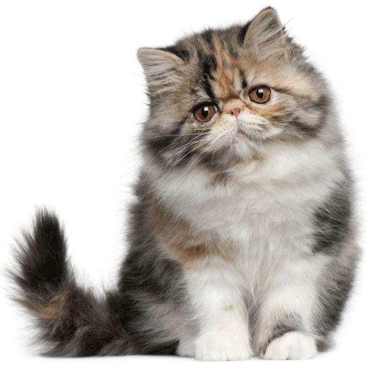 Persian cat rescue connecticut