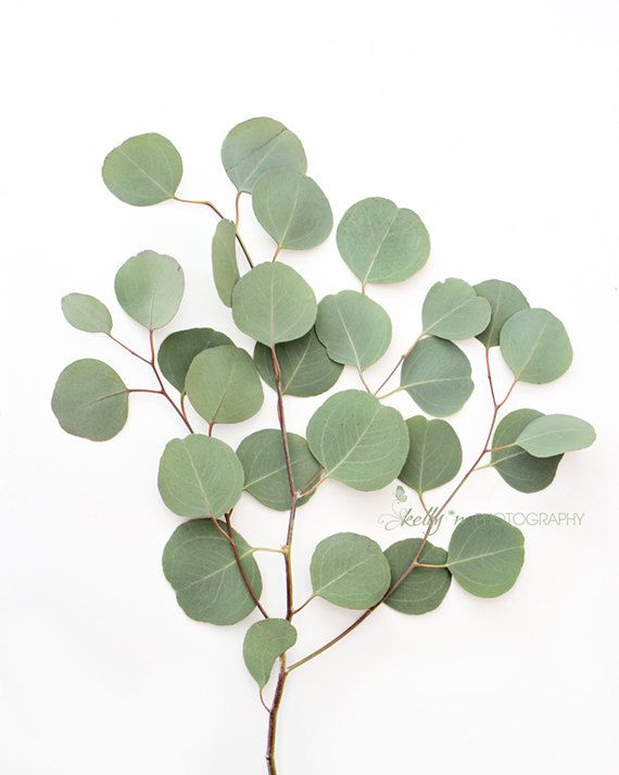 Eucalyptus Photo- Botanical Print, Boho Decor, Minimalist Art, Silver Dollar Leaves, Eucalyptus Bran