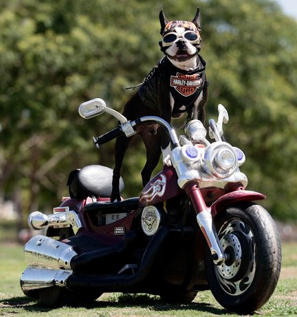 Chopper the biker dog. Always out looking for a good cause to support!