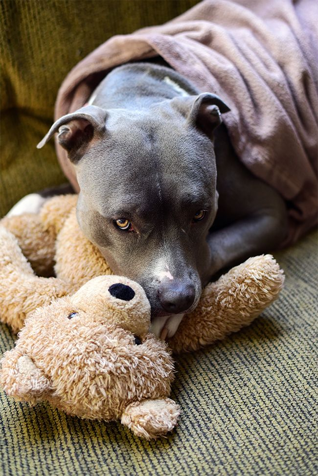 Pitbull misconceptions are destructive to the breed, leading us to one simple fact. Few dog breeds can stir up such intense feelings as that of Pitbulls.