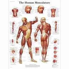 Image result for muscular system anatomical chart hd
