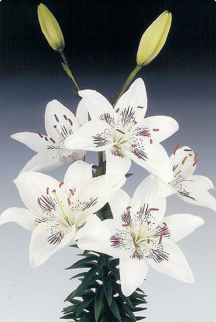 Asiatic Lily Centerfold | by pics collector