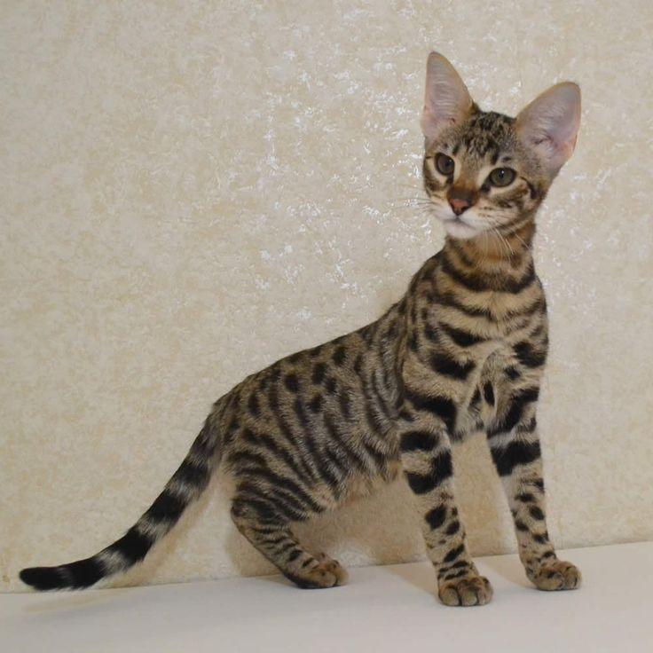 Beautiful F2 Savannah Kittens by Amanukats.com