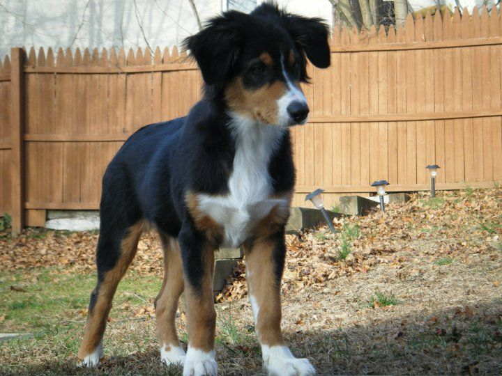Tricolor Australian Shepard puppy. I want this in my arms.