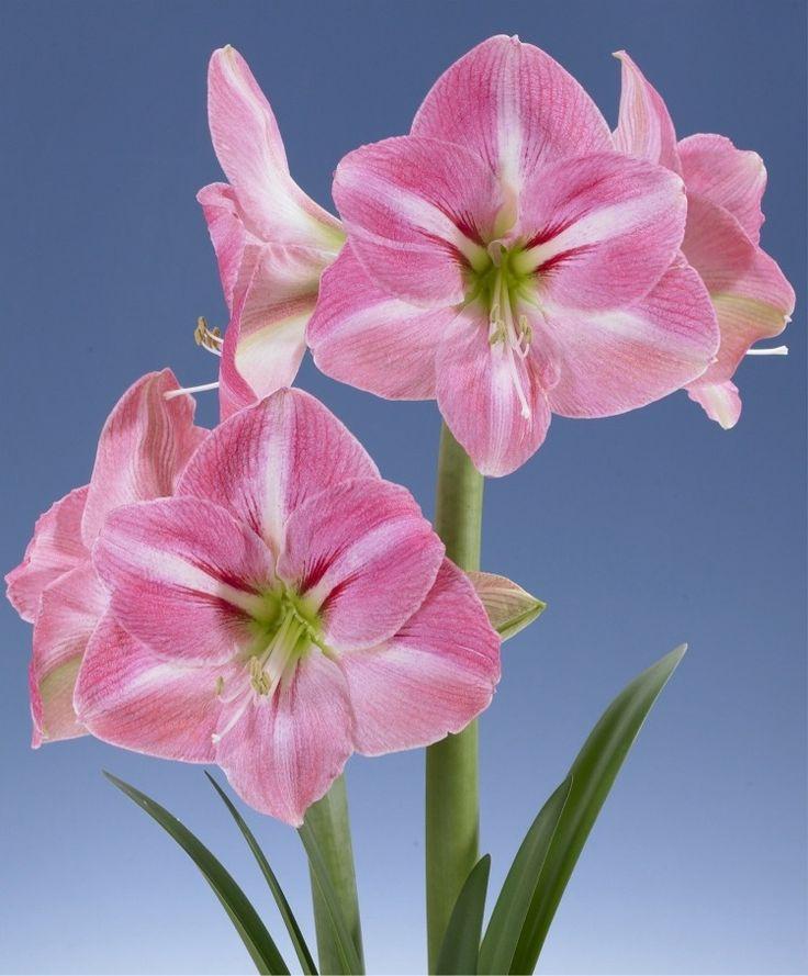 251 best amaryllis hippeastrum images on pinterest for Amaryllis rose