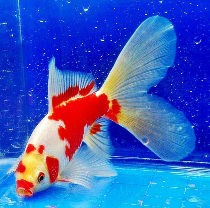 Foto Ikan Mas Koki Komet