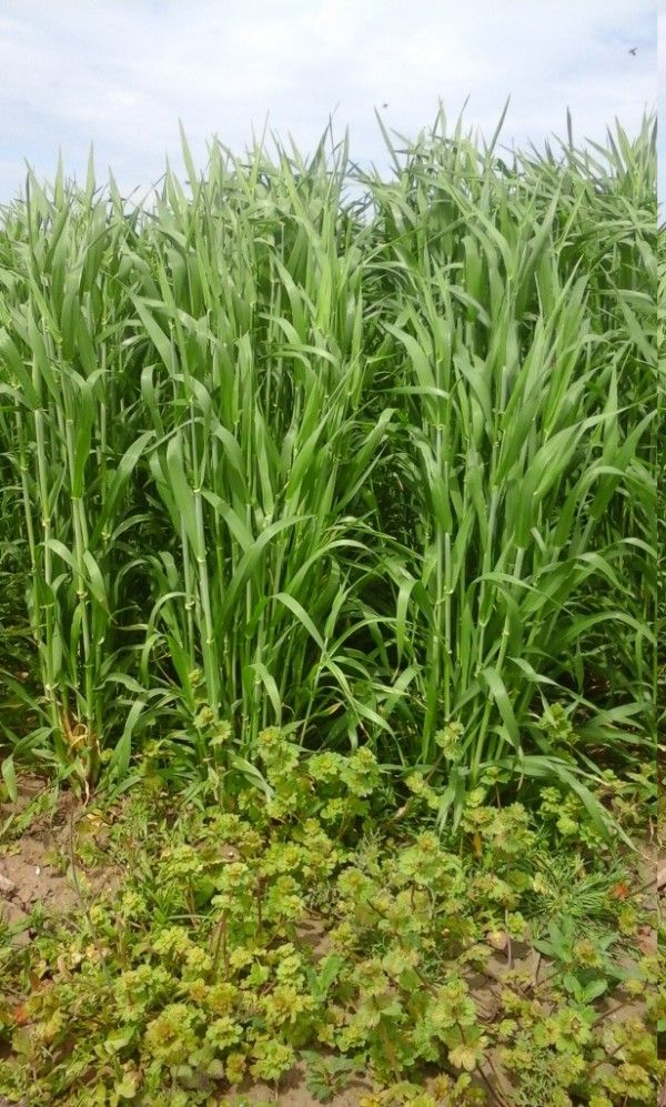 Herbicides for wheat and barley - Agriculture