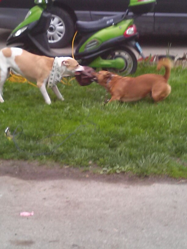 Here is my Rug Rat Tanker (Poo) 's Mommy (Roxy) and his younger brother Gizmo.   Just a glimpse of where he came from lol