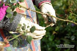Prune Rose Bushes - wikiHow