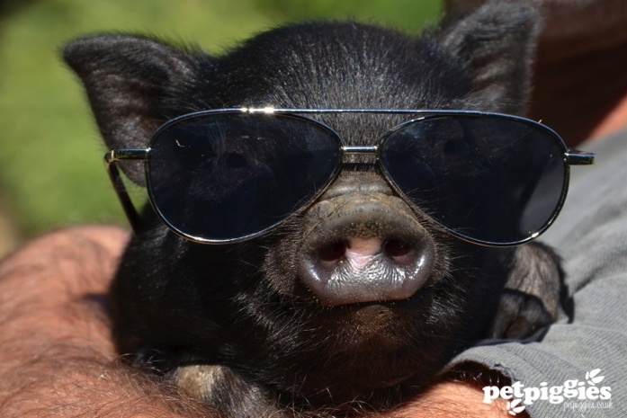 Black micro piglet, black shades | Animals | Pinterest ...