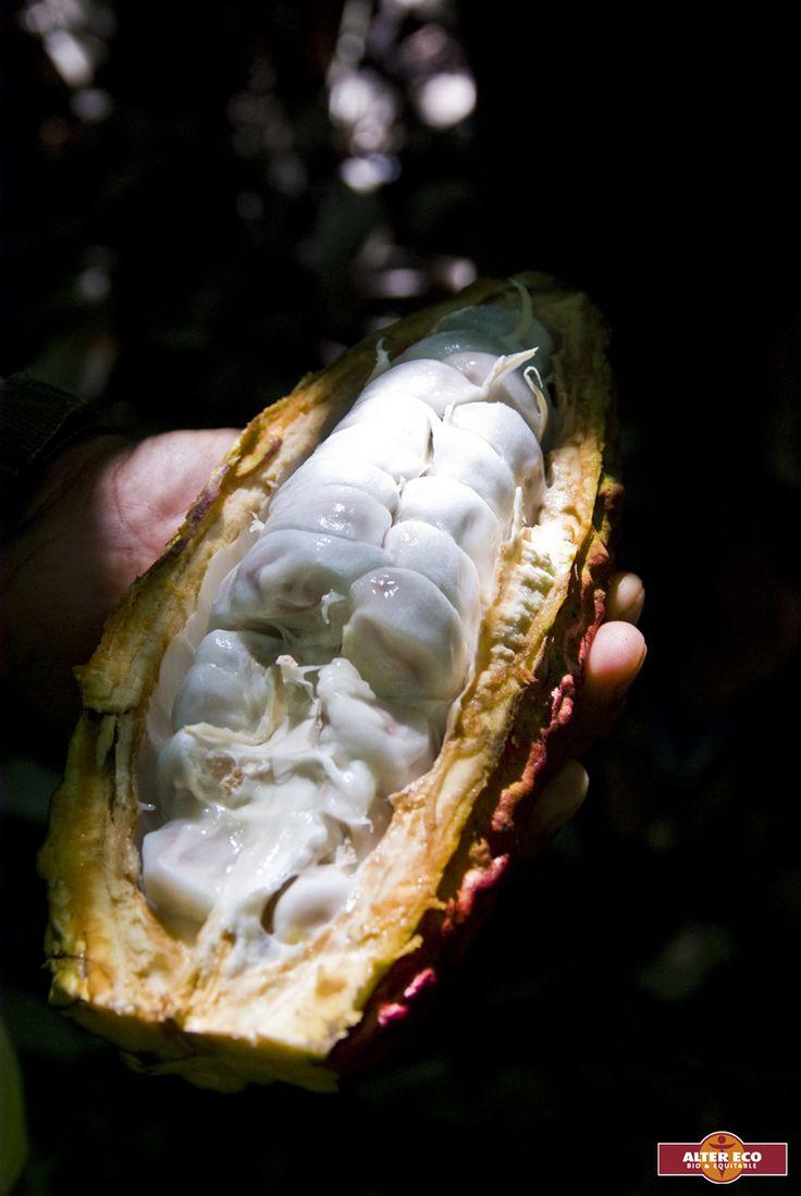 Une #cabosse ouverte, cette dernière contient des #fèves de #cacao An opened #cocoa #pod that contains the #cocoabeans