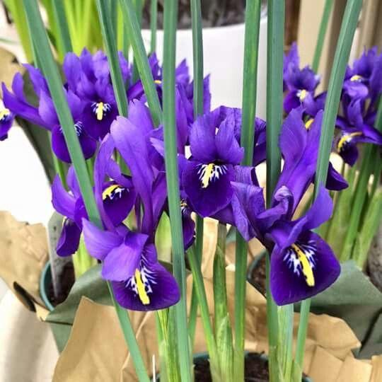 Mini Irises