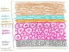 The epidermis is divided into five layers.From outside to inside (dermis). The stem cells are located in the stratum basale and migrate outwards in their differentiation process Stratum corneum: T...