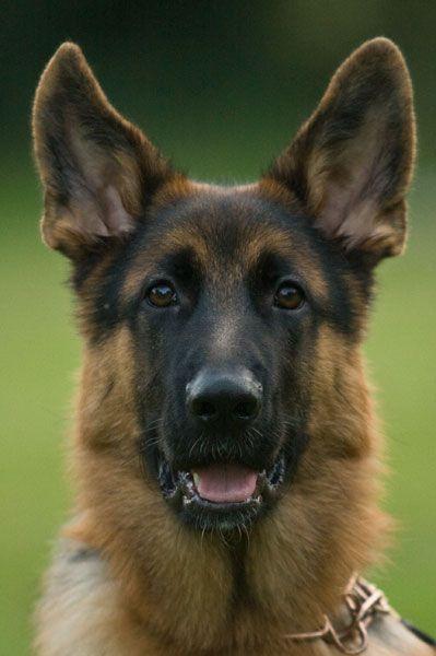 Yasco 6 Months German Shepherd Pinterest 6 Months