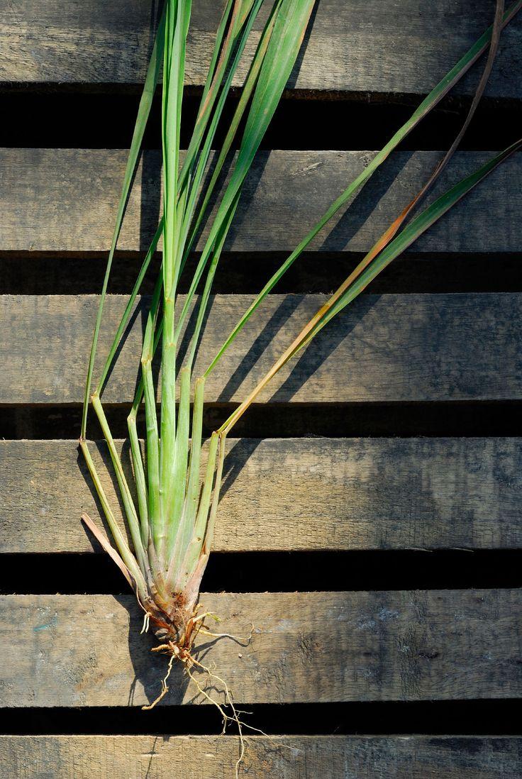 Lemongrass is a tender perennial grown as an ornamental grass or for its…