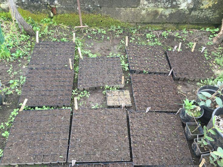 Organic flower farming, slowflowers, seeds, vildevioler.dk, March 2016
