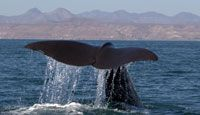 Baja California Wildlife, Baja Expeditions - Lindblad Expeditions