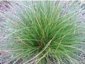 Carex secta - H 1.5m x W 1m