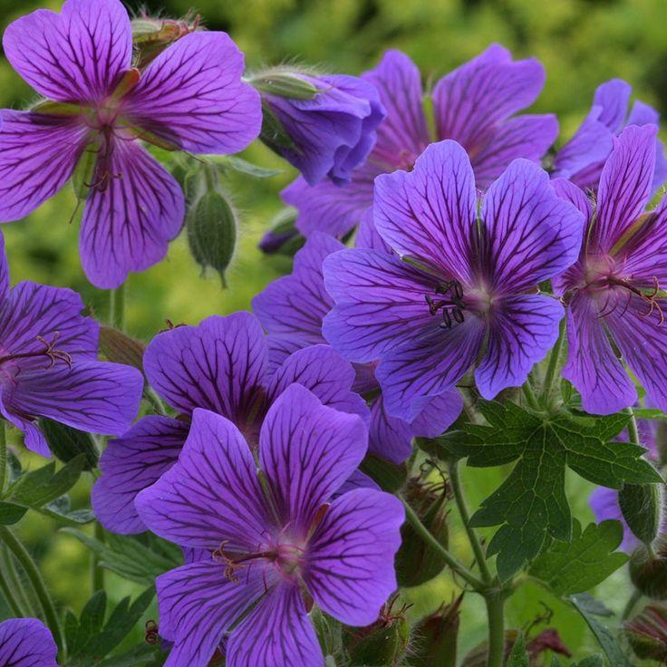 Martha Washington Geraniums Care: 17 Best Images About Geraniums~Pelargoniums On Pinterest