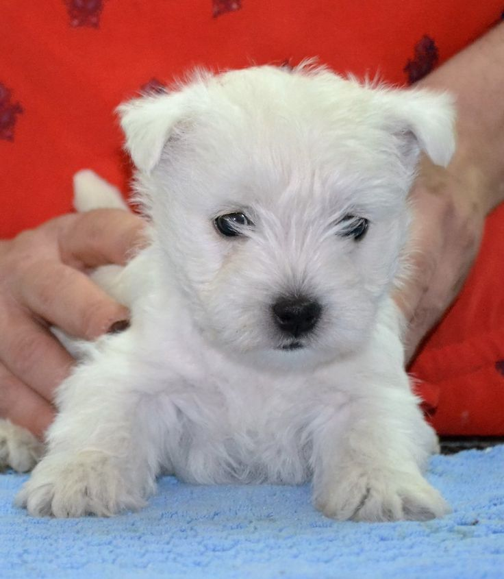 Bébés westies > Acheter un chiot West Highland White Terrier > 03 - Allier France - Eleveurs-Online.com