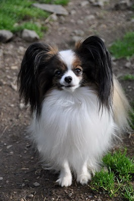 Petite Praline - a Papillon pup - how sweet is this face?! dog puppy