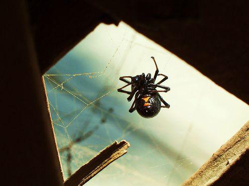 scary spider- black widdow