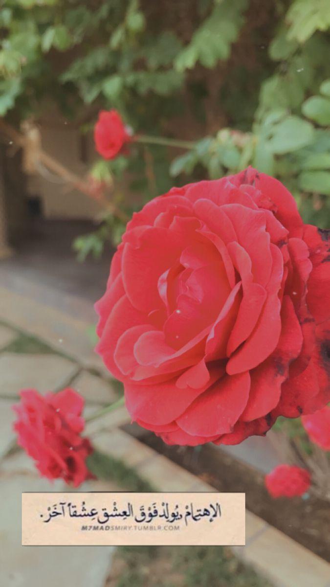Pin By ذكرى On خواطر Rose Plants Flowers