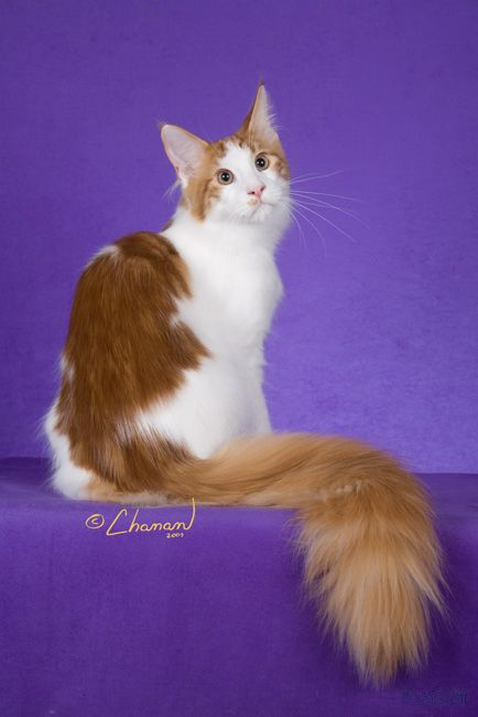Maine Coon, Red Tabby Blotched & White (d 09 22). SaraJen Virginia Gentleman