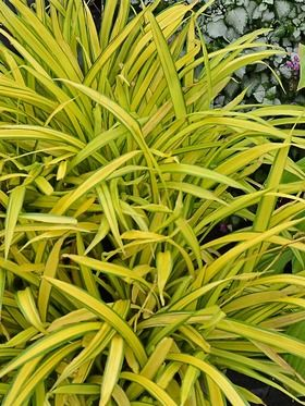 Carex siderosticha 'Banana Boat' |  up to 12 inches in height, space at 12 inches | mostly sunny to part shade | would be great contrast in front of arborvitae