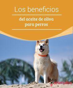Los #beneficios del aceite de oliva para perros Lo llaman oro líquido y es #raro encontrar a un ser #humano que no le guste. Sí, hablamos del #aceite de #oliva. Un elemento que, además de sabroso, es beneficioso para la salud en muchos aspectos.