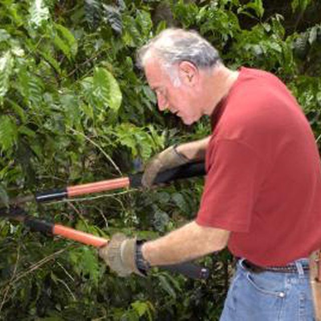 How to Prune Sweet Olive Trees