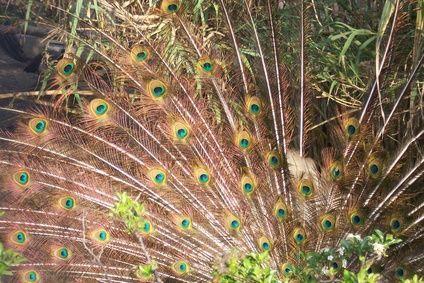 ¿Qué simboliza una pluma de pavo real?   eHow en Español