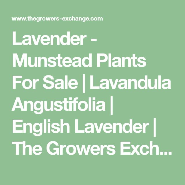 Lavender - Munstead Plants For Sale | Lavandula Angustifolia | English Lavender | The Growers Exchange
