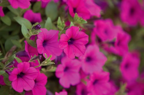 See petunia planting pointers from the experts at Oma's Antik Haus.