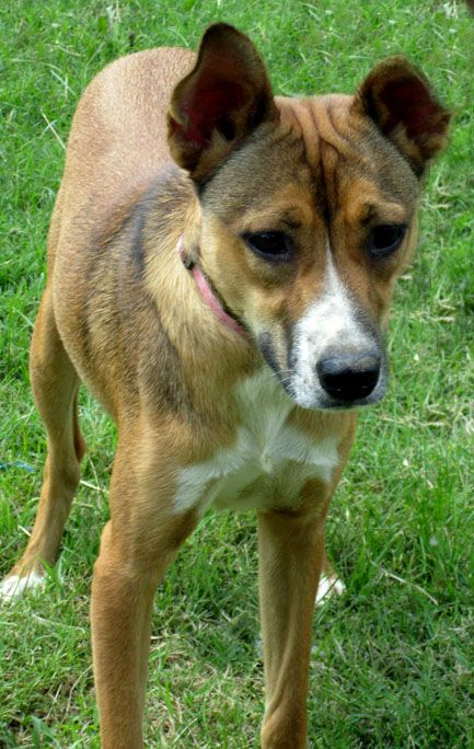 17 Best images about German Shepard Basenji Mix on ...