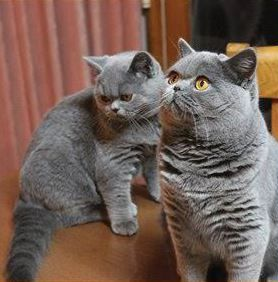 British Shorthair Breeders Australia - British Shorthair Kittens for sale