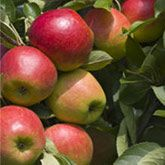Honeycrisp Apple Trees - Dwarf Apple Trees for Sale for Sale | Fast Growing Trees