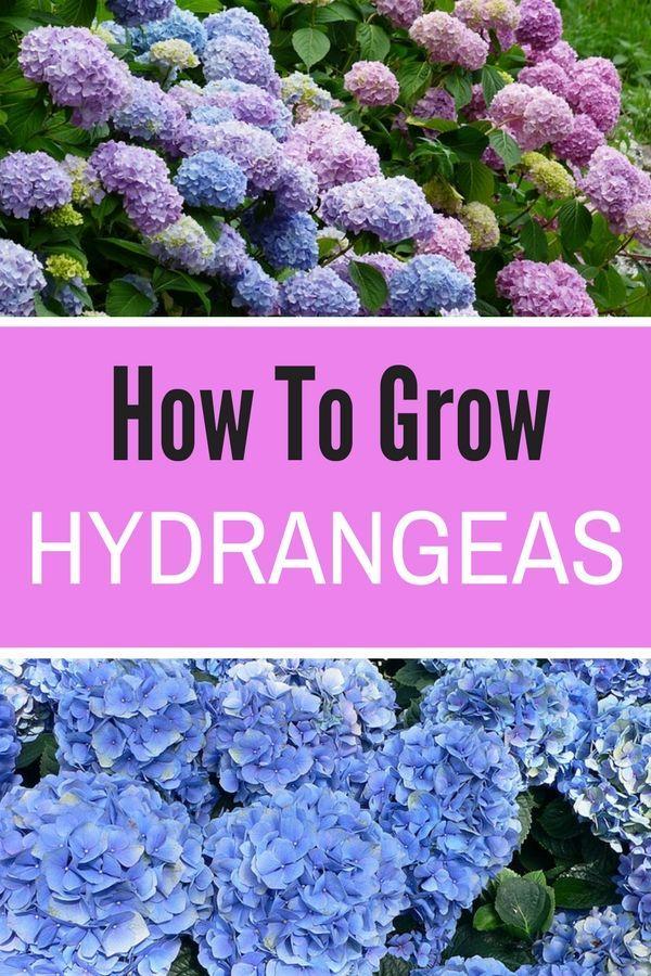 How To Grow Hydrangeas In Your Garden Natalie Linda Growing Hydrangeas Beautiful Flowers Garden Hydrangea Care