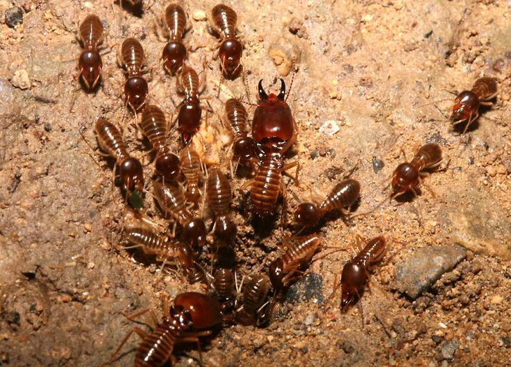 All About Termites: Facts, Signs, Droppings, And Prevention #Termites #Termitesfacts #TermitesDroppings ##TermitesPrevention