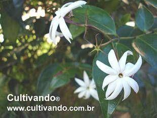 http://www.cultivando.com.br/plantas_detalhes/jasmim.html  Nome popular: Jasmim; Jasmim-asa-de-anjo; jasmim-estrela.  Nome científico: Jasminum nitidum.  Família: Oleaceae.  Origem: Arquipélago Bismarck do Pacífico.